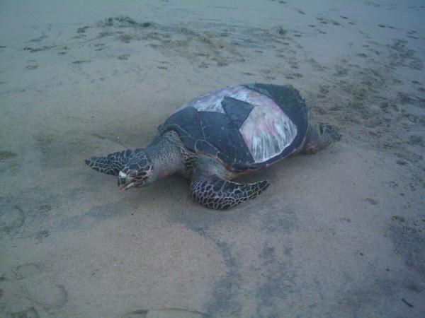 Морская черепаха в Хиккадуве