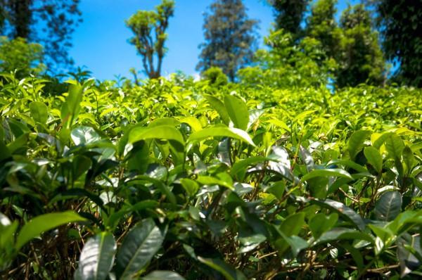 Плантация чая на Шри-Ланке